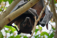 FUENGIROLA, ANDALUCIA/SPAIN - JULY 4 : Flying Fox Bat Pteropus Stock Photo