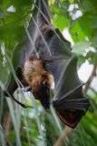 FUENGIROLA, ANDALUCIA/SPAIN - JULY 4 : Flying Fox Bat Pteropus Stock Photos