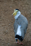 FUENGIROLA, ANDALUCIA/SPAIN - JULY 4 : Masked Lapwing Vanellus Stock Images
