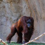 FUENGIROLA, ANDALUCIA/SPAIN - JULY 4 : Orangutan at the Bioparc Stock Photos