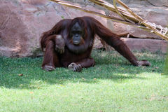 FUENGIROLA, ANDALUCIA/SPAIN - JULY 4 : Orangutan at the Bioparc Royalty Free Stock Photos