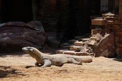 FUENGIROLA, ANDALUCIA/SPAIN - LIPIEC 4: Komodo smoka Varanus ko Obraz Royalty Free