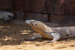 FUENGIROLA, ANDALUCIA/SPAIN - LIPIEC 4: Komodo smoka Varanus ko Zdjęcie Royalty Free