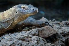 FUENGIROLA, ANDALUCIA/SPAIN - LIPIEC 4: Komodo smoka Varanus ko Zdjęcie Stock