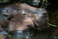 FUENGIROLA, ANDALUCIA/SPAIN - LIPIEC 4: Pigmejowy Hipopotamowy Choer Obrazy Stock