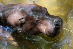 FUENGIROLA, ANDALUCIA/SPAIN - LIPIEC 4: Pigmejowy Hipopotamowy Choer Obraz Royalty Free