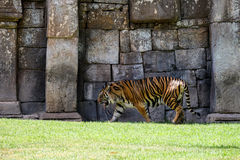 FUENGIROLA, ANDALUCIA/SPAIN - LIPIEC 4: Sumatran tygrys przy Życiorys zdjęcia stock