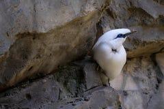 FUENGIROLA, ANDALUCIA/SPAIN - 4 LUGLIO: Bali Starling Leucopsar fotografia stock libera da diritti