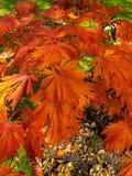 Fuente de las hojas de otoño anaranjadas brillantes Imagenes de archivo