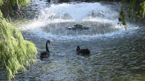Fuente y cisnes negros metrajes