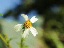 Fuera de la flor blanca del foco Imagen de archivo libre de regalías