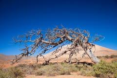 Fuerteventura, área de Tetir - seque a árvore de figo inoperante Imagem de Stock