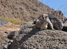 Fuerteventura barbary ground squirrel 3. Barbary ground squirrel on the island Fuerteventura (Canary Islands Stock Photo