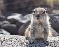 Fuerteventura barbary ground squirrel 4. Barbary ground squirrel on the island Fuerteventura (Canary Islands Stock Images