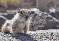 Fuerteventura barbary ground squirrel 5. Barbary ground squirrel on the island Fuerteventura (Canary Islands Stock Image