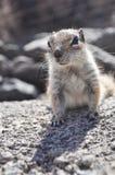 Fuerteventura barbary ground squirrel 6. Barbary ground squirrel on the island Fuerteventura (Canary Islands Royalty Free Stock Photography