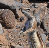 Fuerteventura barbary ground squirrel 7. Barbary ground squirrel on the island Fuerteventura (Canary Islands Royalty Free Stock Image