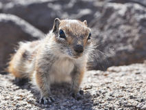 Fuerteventura barbary ground squirrel 8 Royalty Free Stock Image