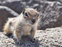 Fuerteventura barbary ground squirrel 8. Barbary ground squirrel on the island Fuerteventura (Canary Islands Royalty Free Stock Image