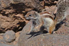 Fuerteventura barbary ground squirrel 9. Barbary ground squirrel on the island Fuerteventura (Canary Islands Stock Photography