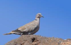 Fuerteventura eurasian collared dove 1. Eurasian collared dove on the island Fuerteventura (Canary Islands Royalty Free Stock Photo