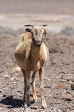 Fuerteventura Goat Royalty Free Stock Photography