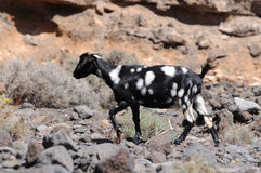 Fuerteventura Goat Stock Photo