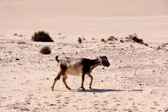 Fuerteventura,goat in the desert Stock Photo