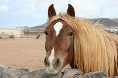 Fuerteventura Horse Royalty Free Stock Photo