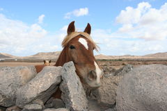 Fuerteventura Horse Royalty Free Stock Photos