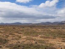 Fuerteventura kanariefåglar, Spanien Fotografering för Bildbyråer