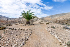 Fuerteventura - Single palm tree in the Cardon massif Stock Images