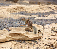 Fuerteventura squirrels at Canary Islands Stock Images