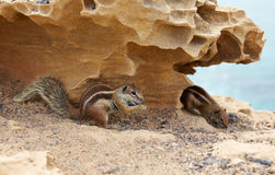 Fuerteventura squirrels at Canary Islands Stock Photos