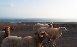Fuerteventura, Canary Islands, Spain, goat, sheep, dirt road, animals. Goats on the dirt road to Punta de Jandia, the extreme southern cape of the island, on Stock Photos