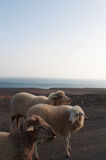 Fuerteventura, Canary Islands, Spain, goat, sheep, dirt road, animalsg. Goats on the dirt road to Punta de Jandia, the extreme southern cape of the island, on Stock Photos