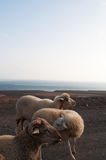 Fuerteventura, Canary Islands, Spain, goat, sheep, dirt road, animals. Goats on the dirt road to Punta de Jandia, the extreme southern cape of the island, on Royalty Free Stock Photography