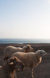 Fuerteventura, Canary Islands, Spain, goat, sheep, dirt road, animals. Goats on the dirt road to Punta de Jandia, the extreme southern cape of the island, on Royalty Free Stock Photo
