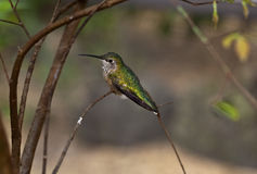 fufous hummingbird för kvinnlig Royaltyfria Foton
