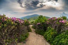 A fuga apalaches desce Jane Bald Through Rhododendron fotos de stock