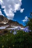Fuga aquilégia azul Colorado do pedágio do Mt do caerulea de Aquilegia das flores Imagens de Stock Royalty Free