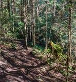 A fuga através das árvores altas em quedas molhadas de um Cypress da floresta estaciona o Columbia Britânica Canadá Fotografia de Stock