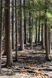 Fuga através das madeiras Fotos de Stock