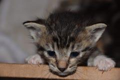 Fuga dalla scatola; Kitten Angst nutrita artificialmente a tempo di alimentazione fotografia stock libera da diritti