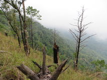 Fuga das madeiras de pinho Foto de Stock Royalty Free