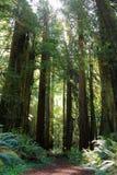 Fuga de caminhada ensolarado através das sequoias vermelhas antigas no parque estadual das sequoias vermelhas de Prairie Creek, C fotografia de stock royalty free