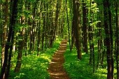 Fuga de caminhada entre árvores na floresta de florescência verde Imagem de Stock