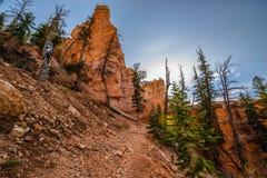 Fuga de Ponderosa que olha acima Bryce Canyon Fotografia de Stock
