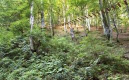 Fuga de suspensão nos arvoredos de uma floresta da montanha na luz solar da manhã Fotos de Stock