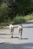Fuga delle pecore del Big Horn Fotografia Stock Libera da Diritti